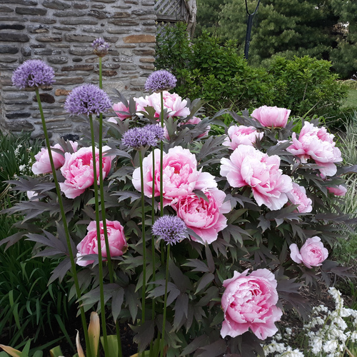 A shrub with huge pink flowers with tall purple flowers in front of it