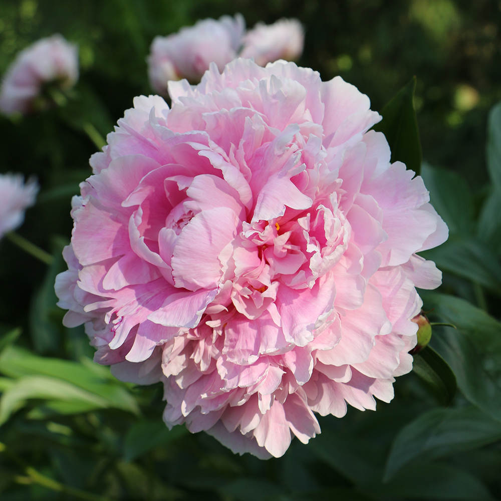 pink herbaceous peony