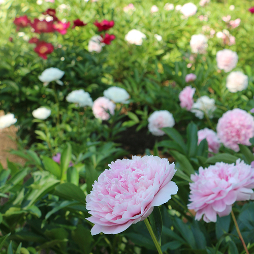 peony border with pink and red flowers