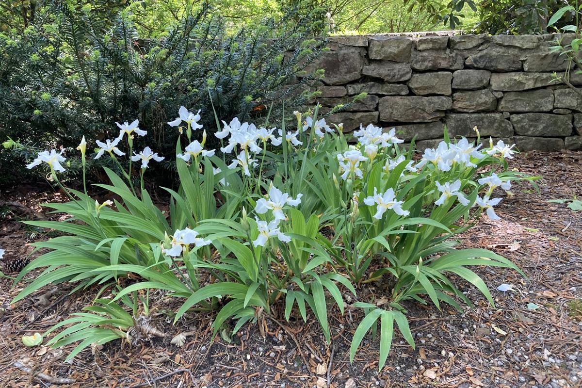 white Roof iris