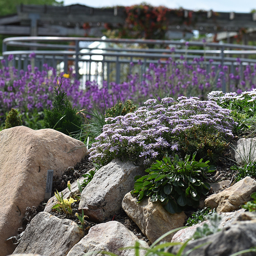 crevice garden with purple flowers