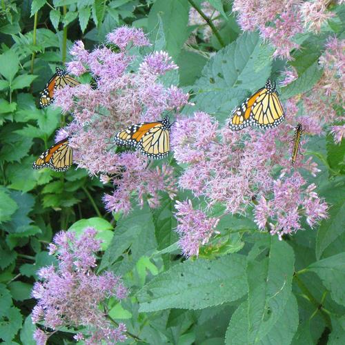 butterflies on Joe-Pye weed