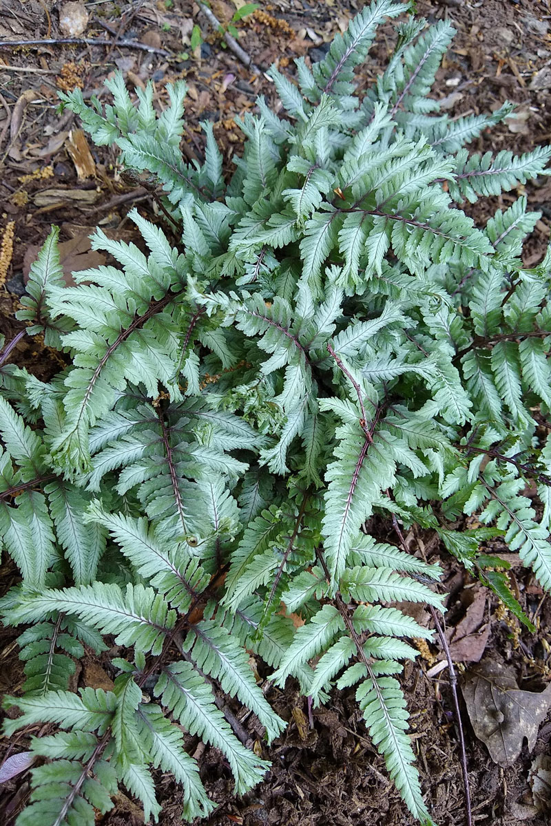 'Crested Surf' painted fern