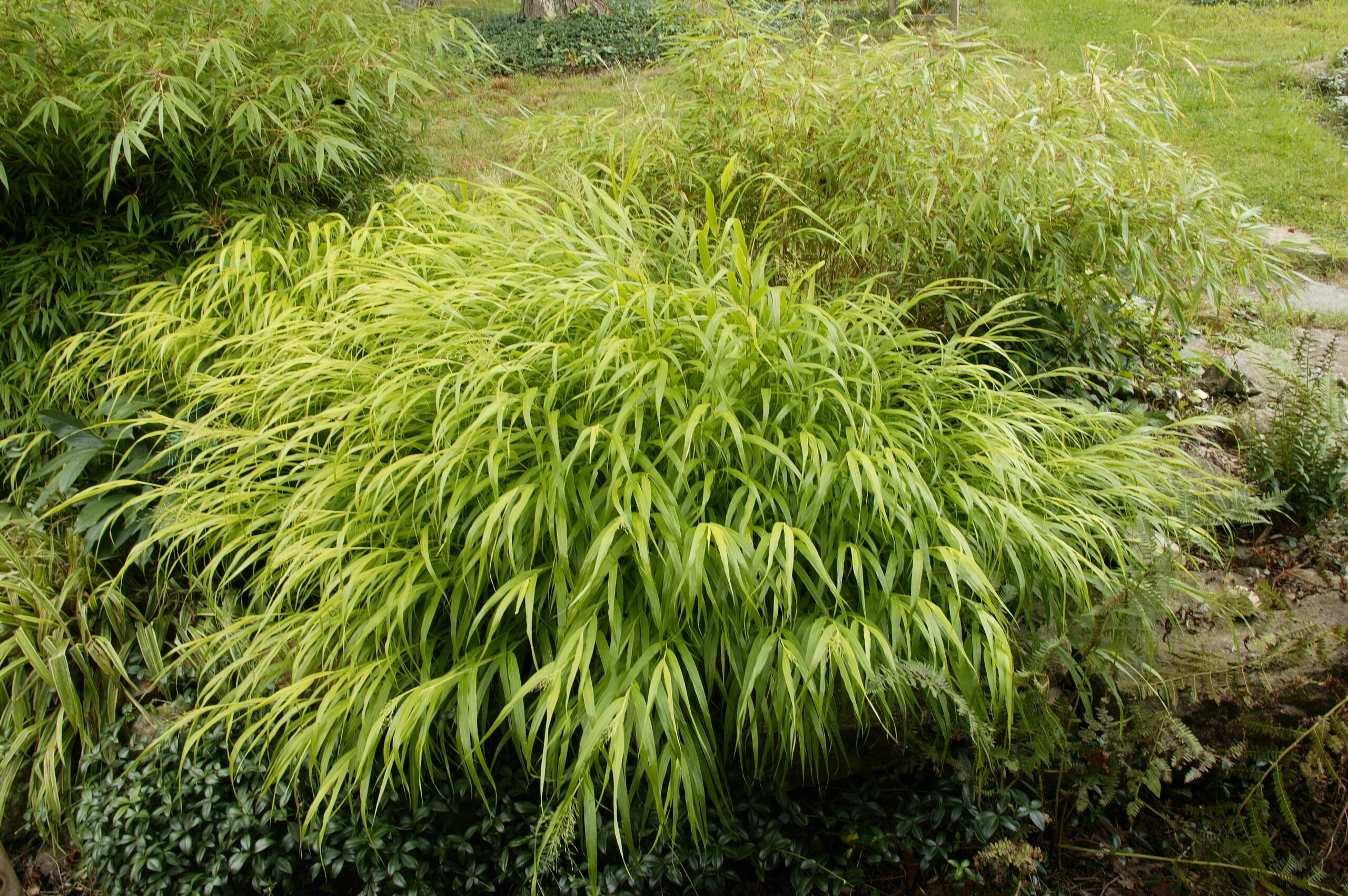 'All Gold' Japanese forest grass