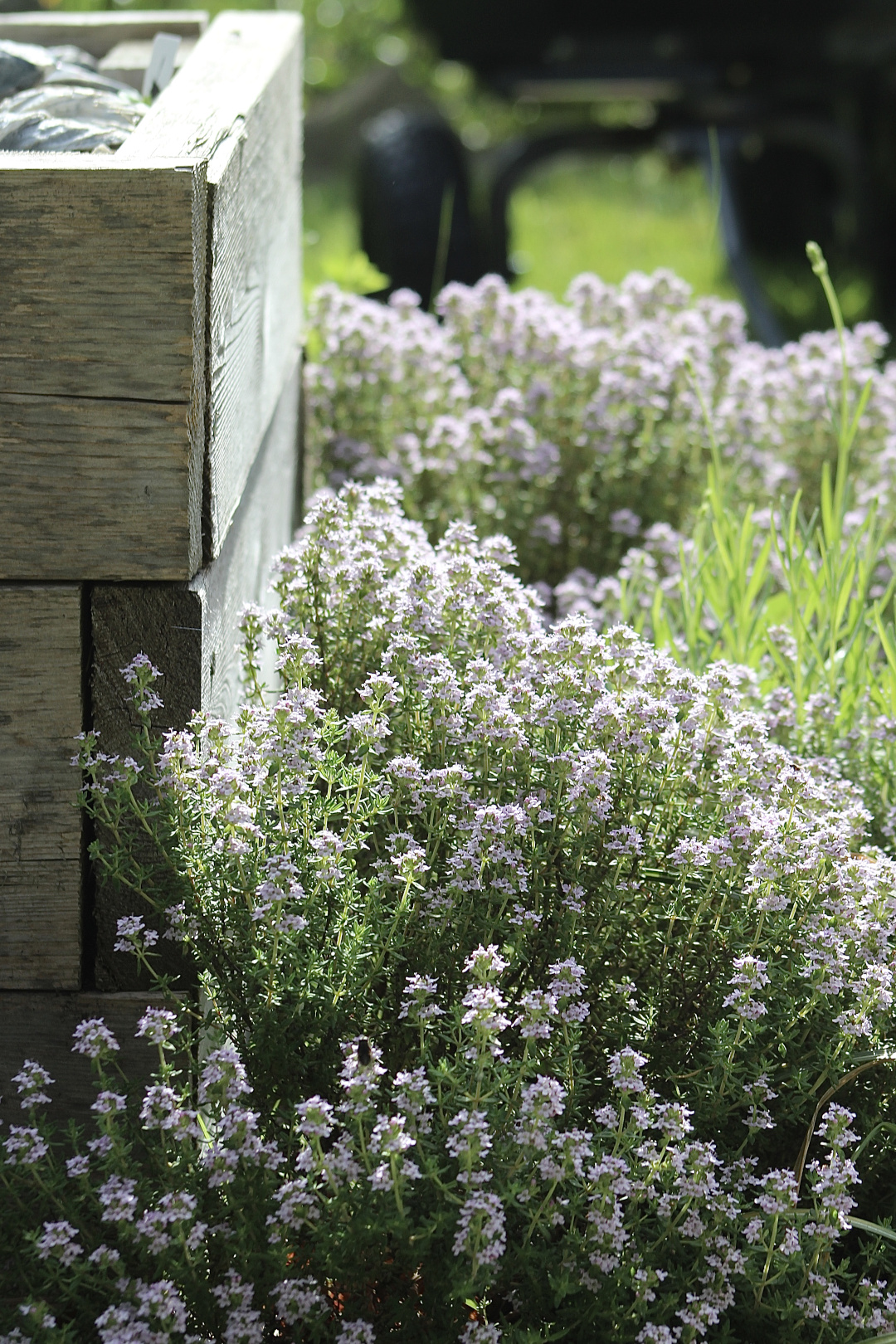 Blooming thyme