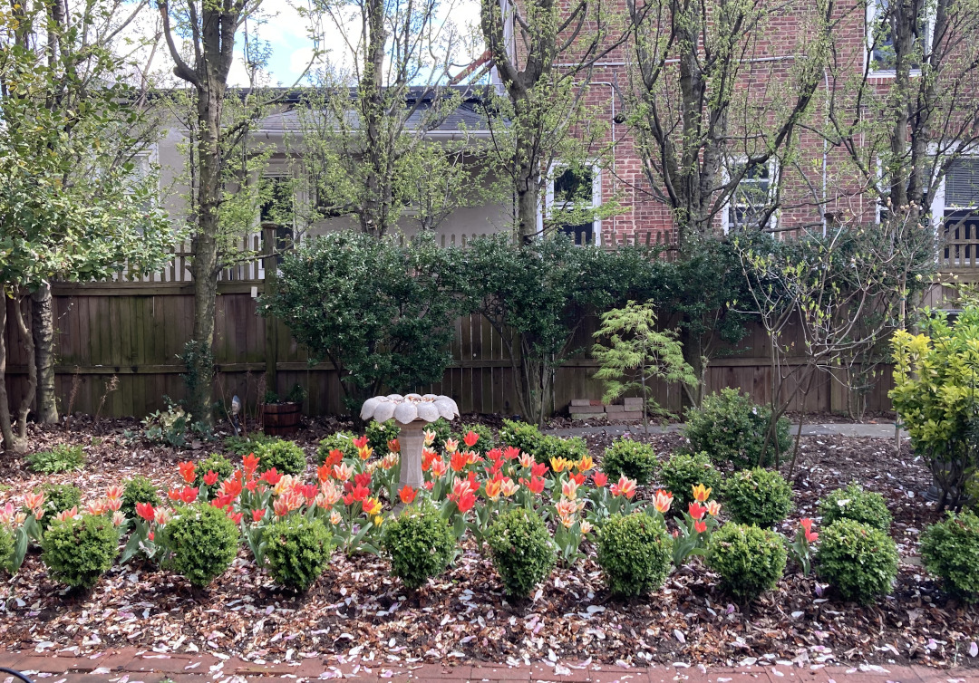 small boxwoods surrounding tulips