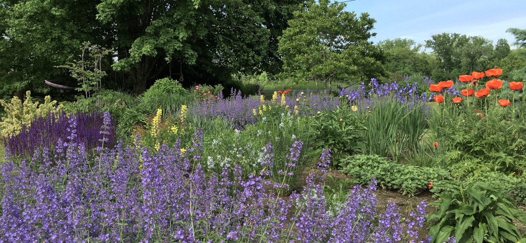 big masses of Nepeta in a large garden
