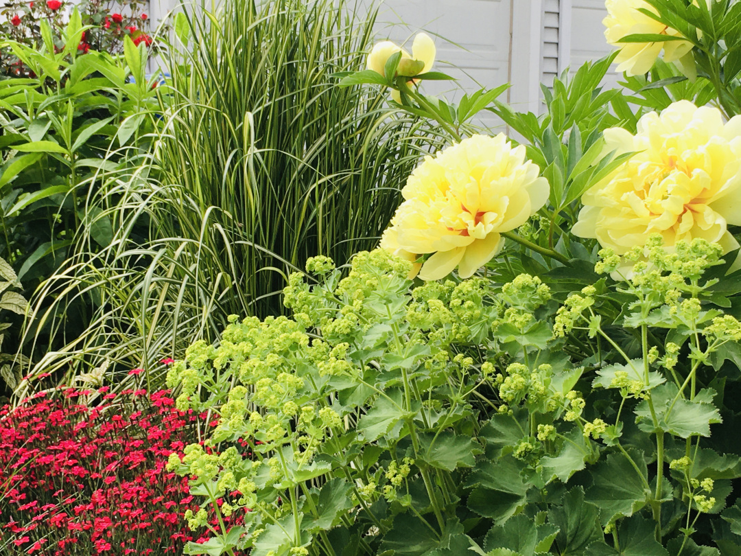 yellow peonies with green and red plants