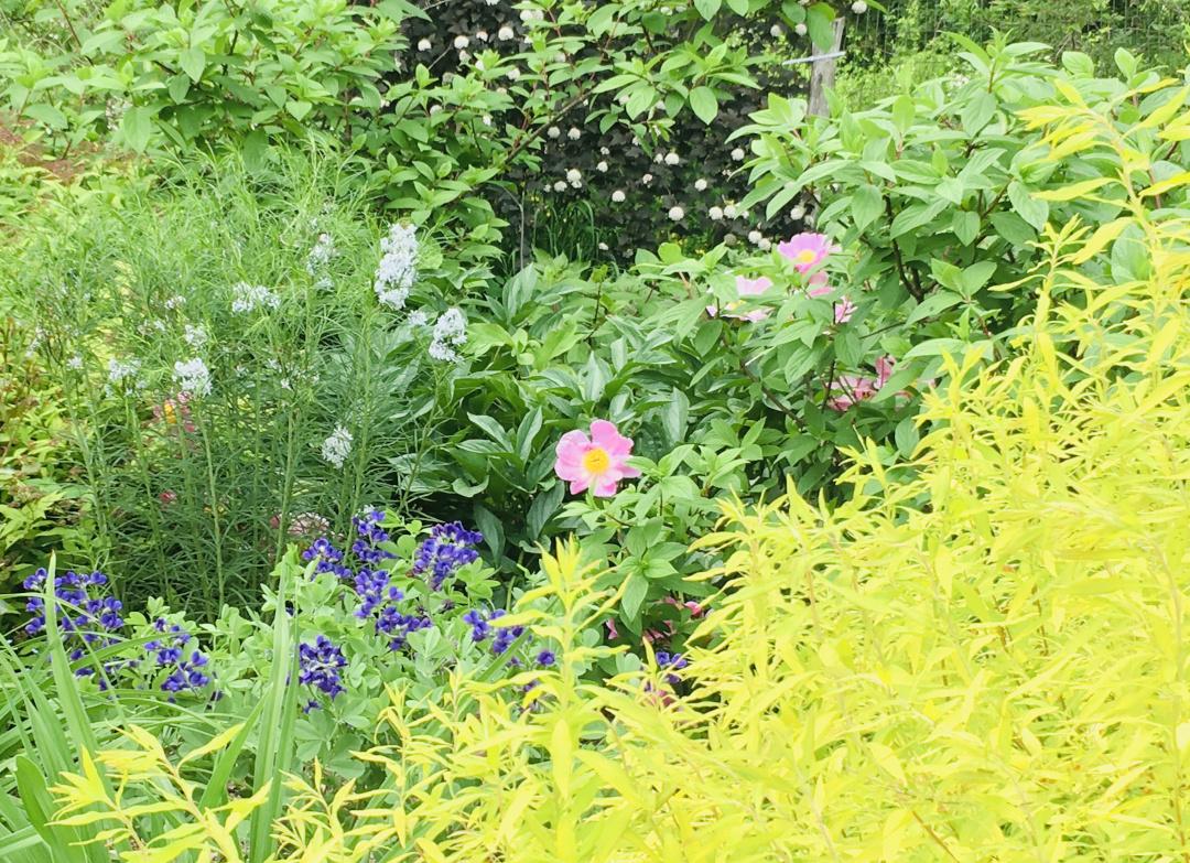Ogon spirea next to flowers