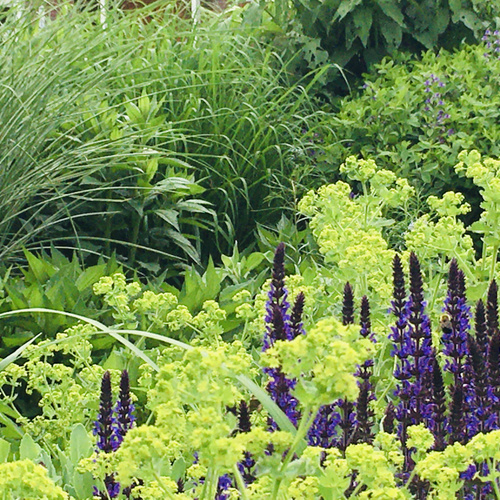 purple salvia with green lady's mantel