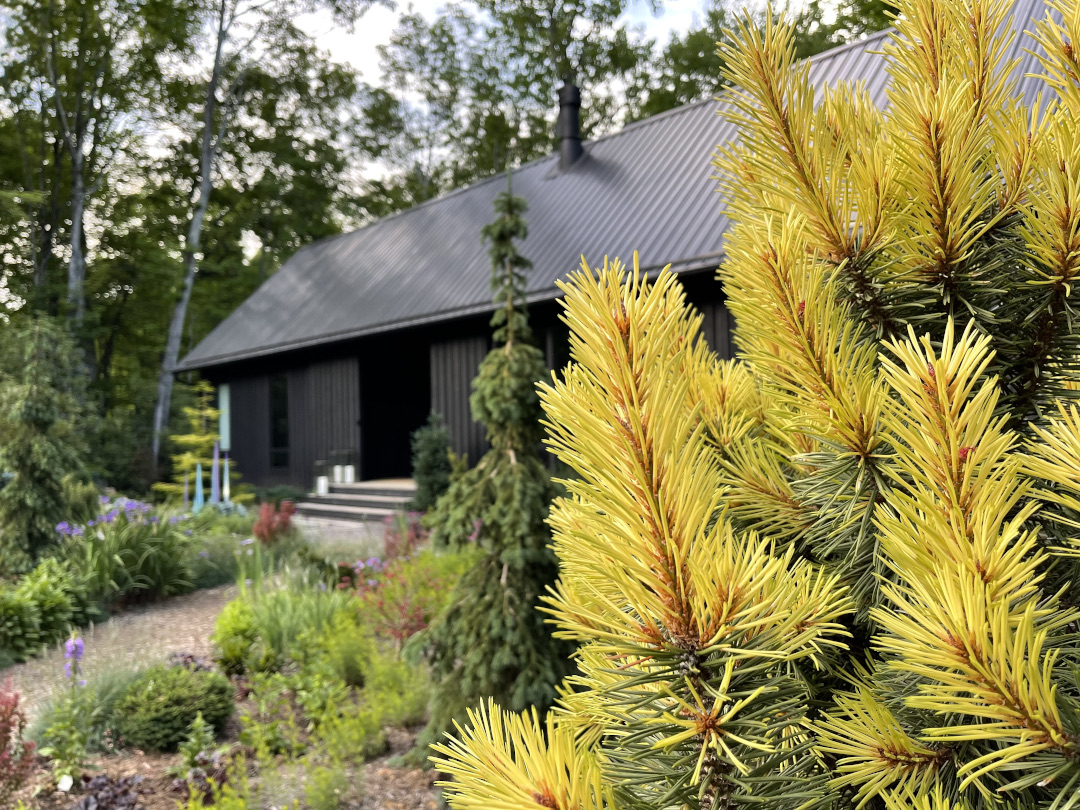 yellow conifer in front of black house