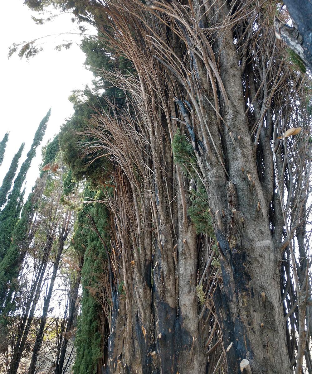 Italian cypress burned in wildfire