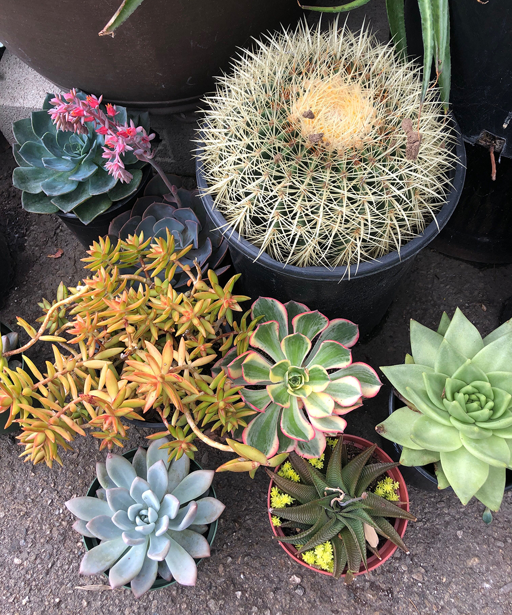 mixed group of succulents and cacti