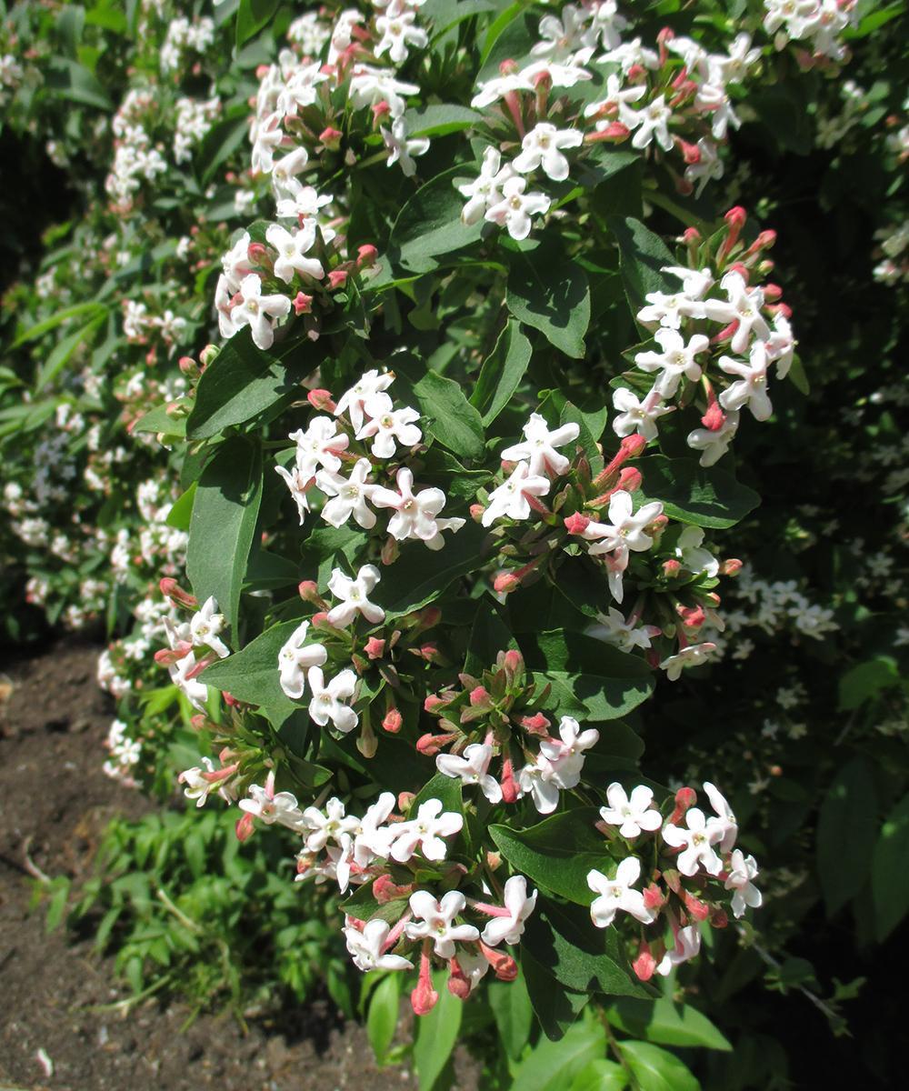 Fragrant abelia flowers