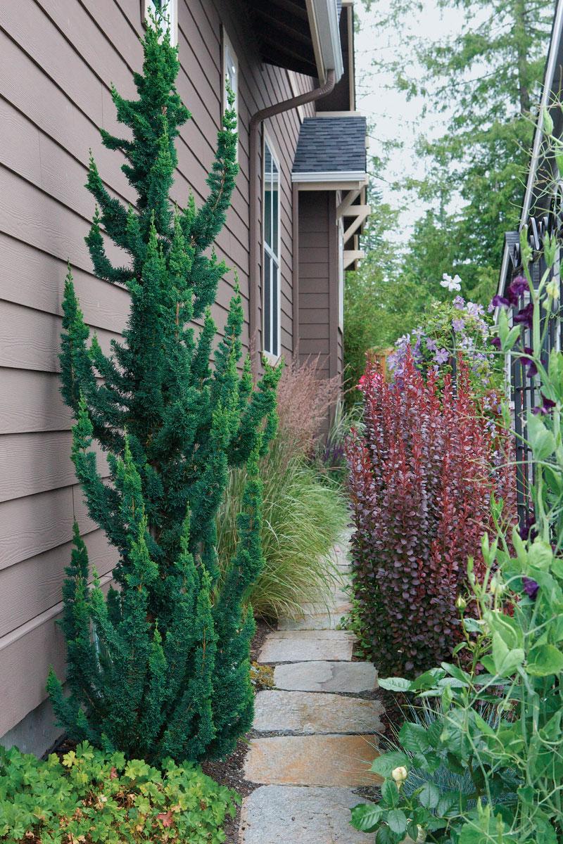 'Wissel's Saguaro' Lawson's cypress (photo credit: Ashley DeLatour)