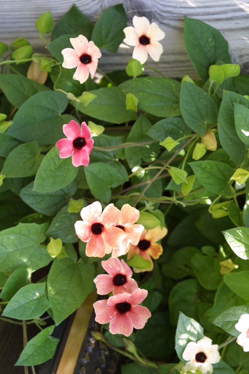 Black-eyed Susan vine