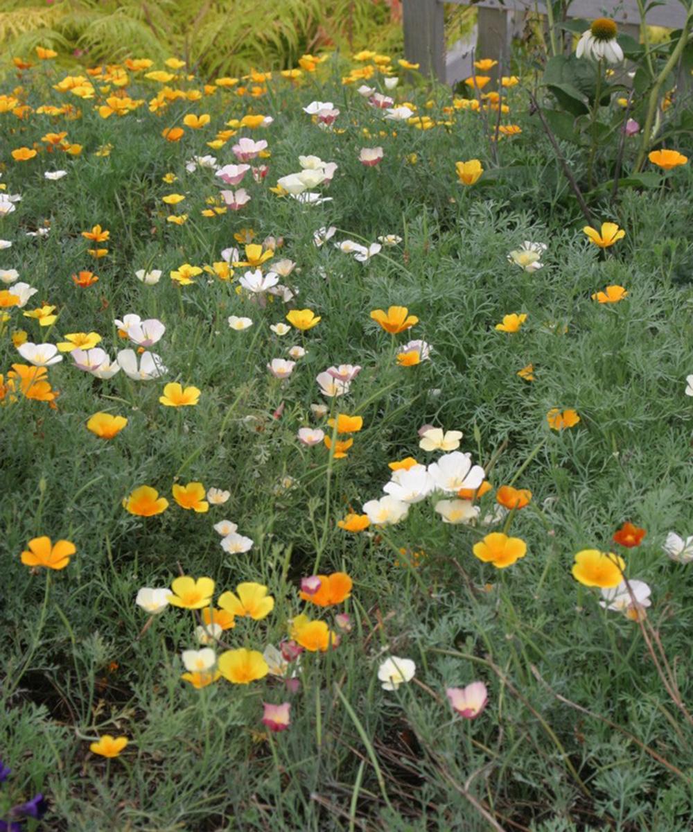 mixed California poppies