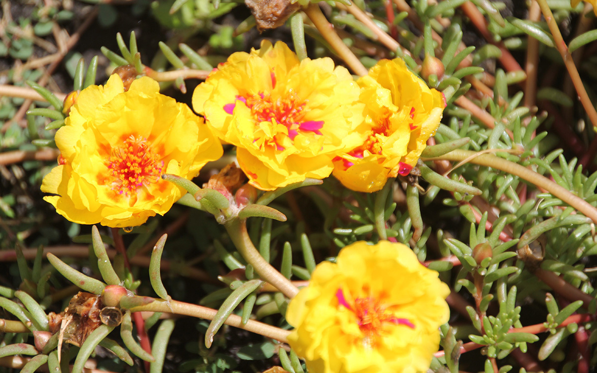 Happy Trails Yellow moss rose