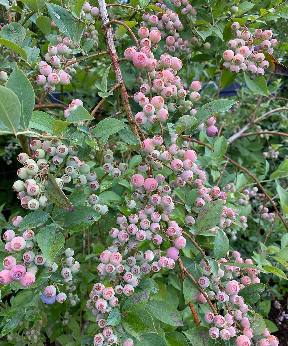 Rabbiteye blueberry