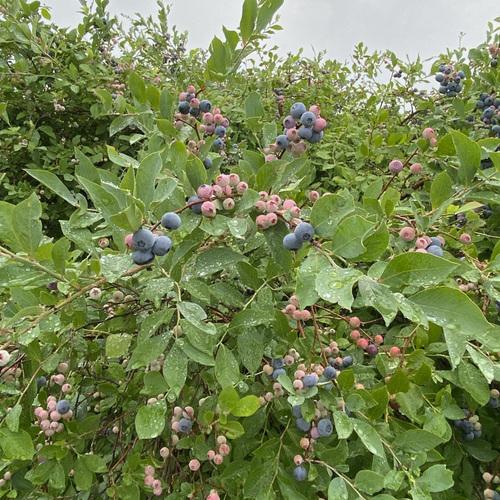 large blueberry bush