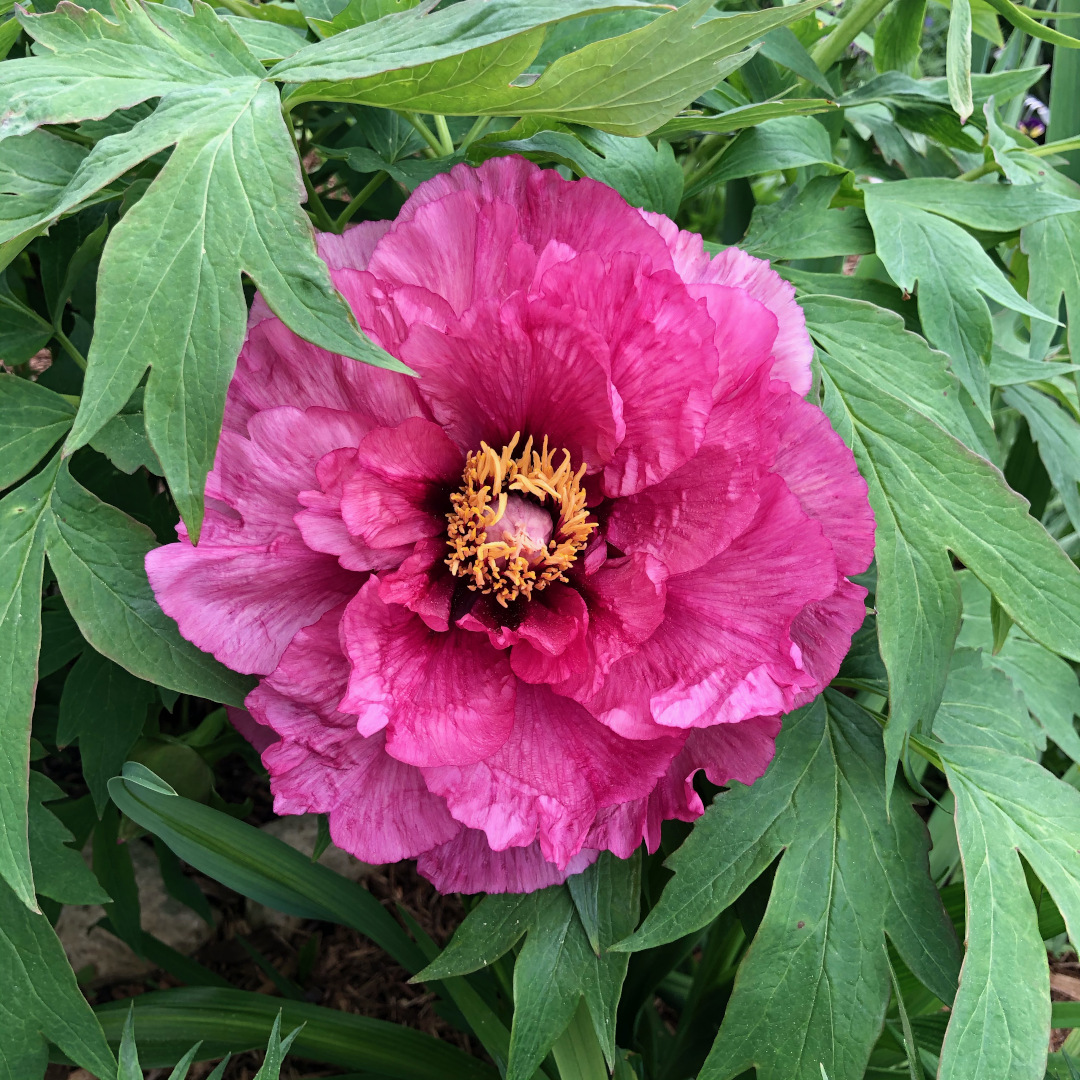 A magenta peony with many layers of petals
