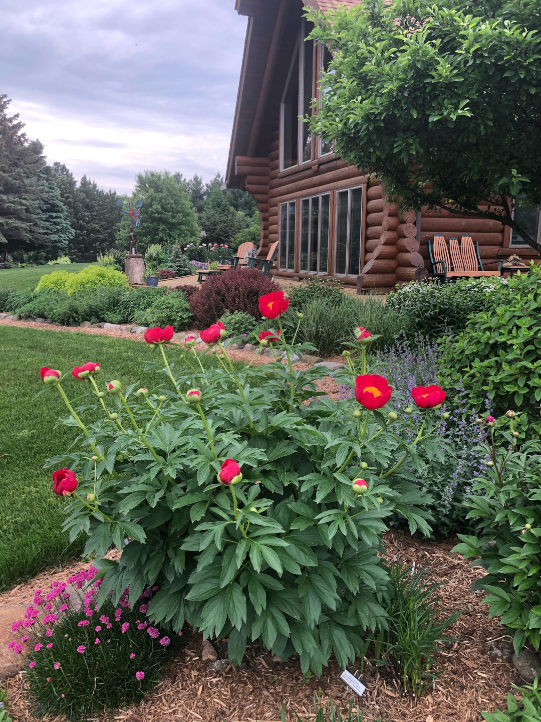A bright red peony in a garden in front of a log home
