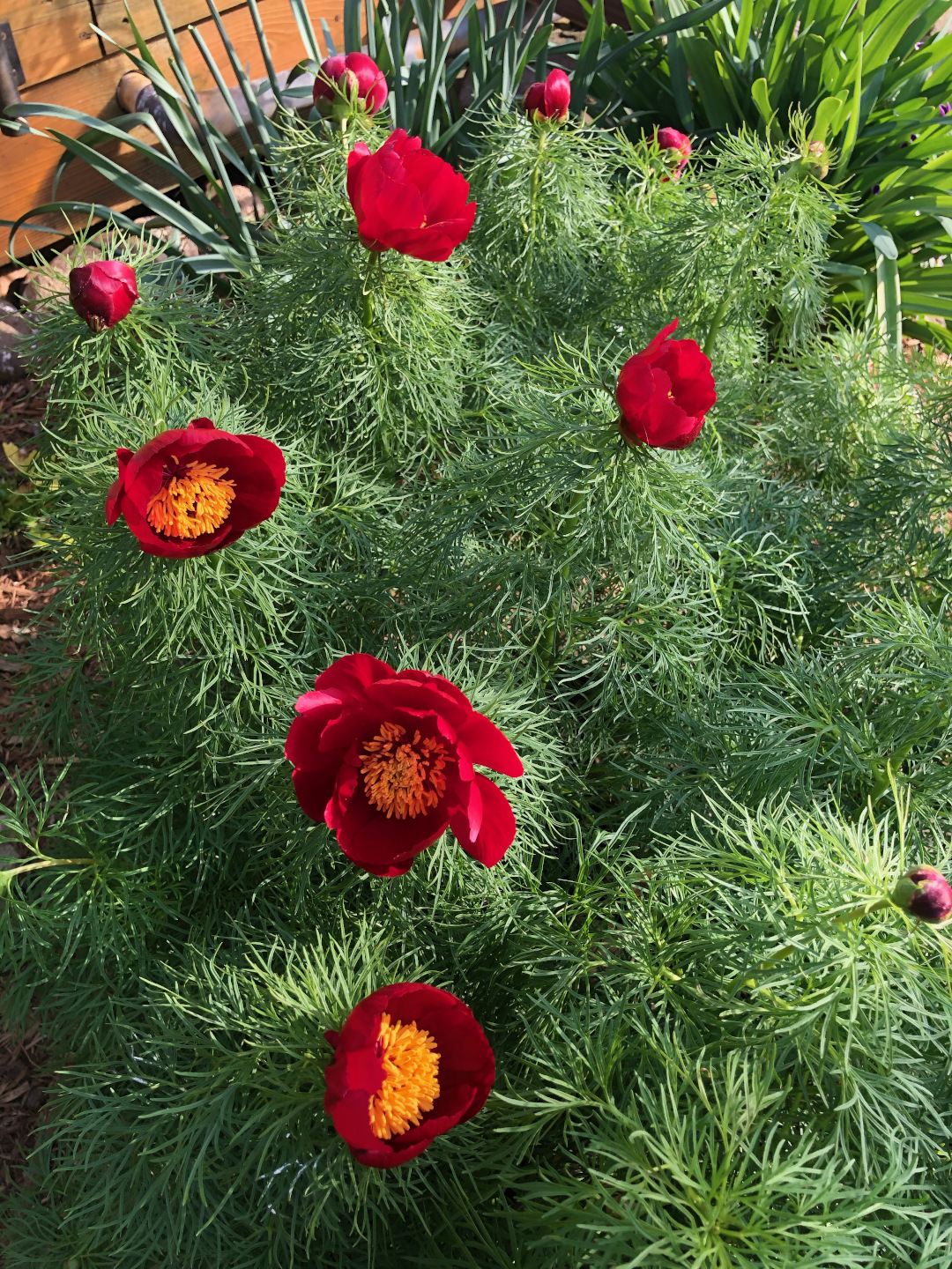 Bright red peony flowers over a mass of fern-like leaves