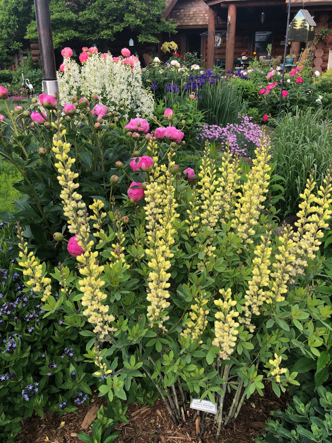 Tall spikes of pale yellow flowers in front of a flower garden