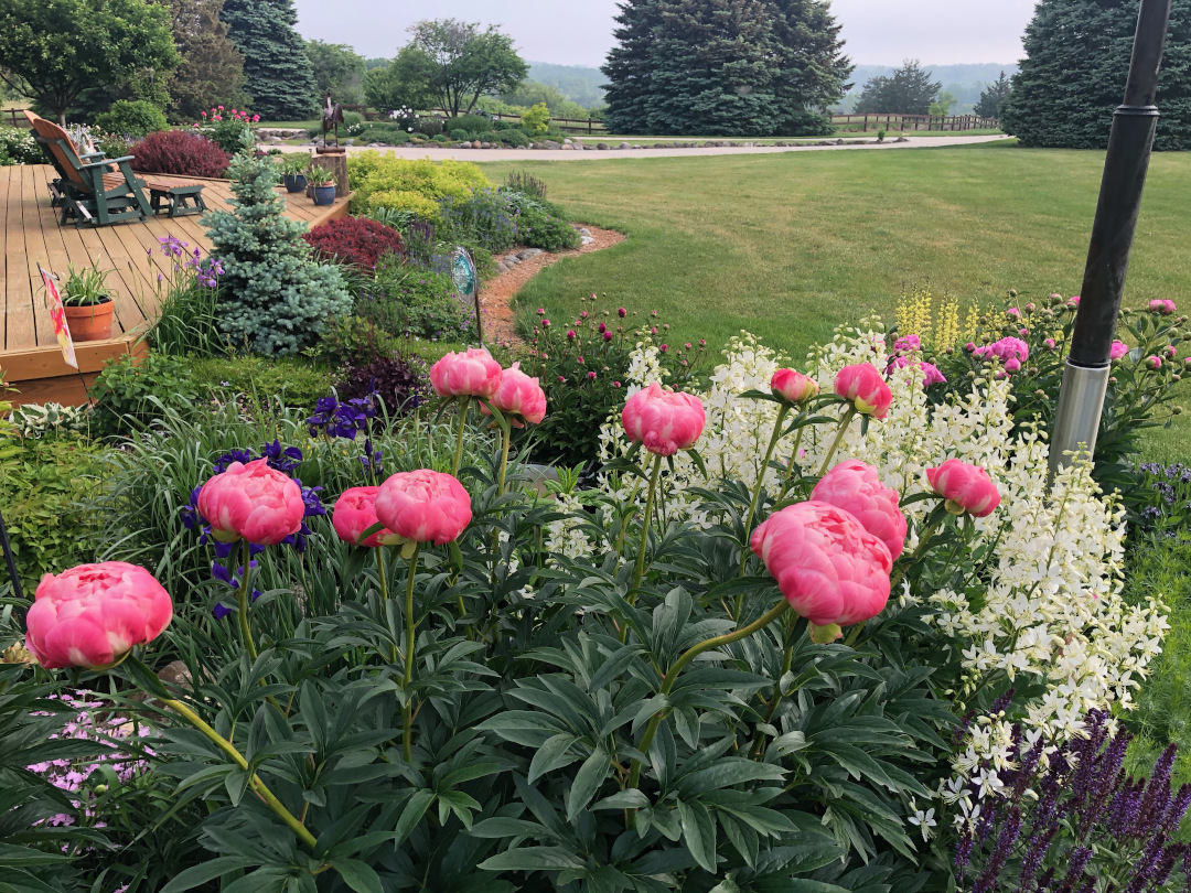 pink peony growing next to a plant covered in white flowers