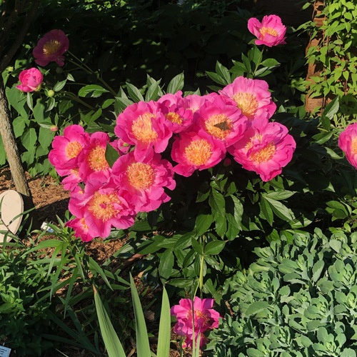 A peony covered with bright pink flowers