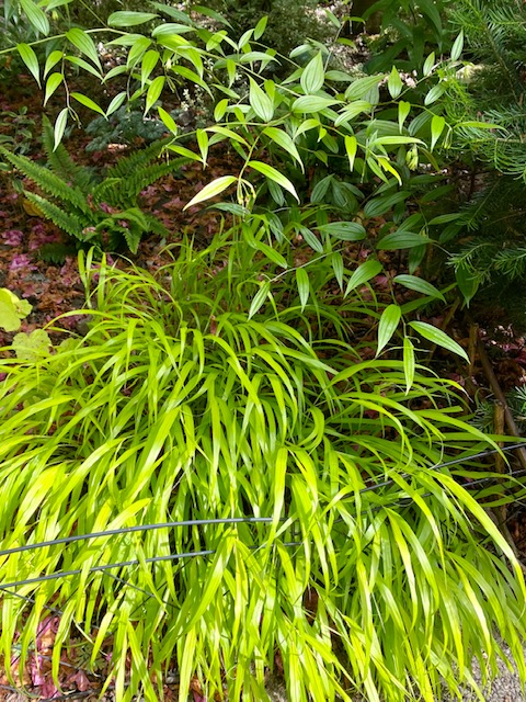 ornamental grass with bright green blades