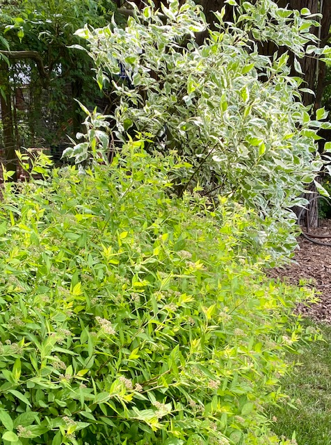Japanese spirea and red osier dogwood