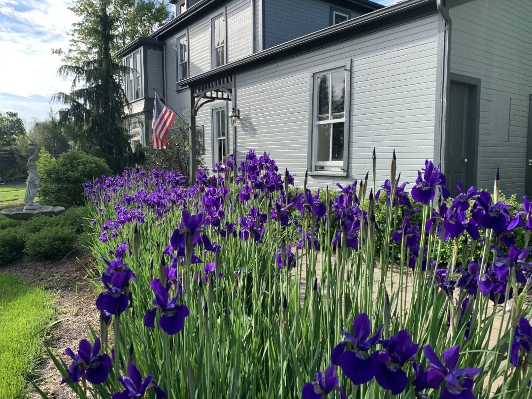 Mass of purple irises in front of a grey house