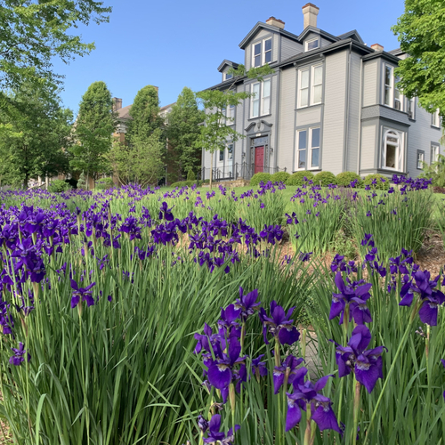 Purple irises in front of a grey house
