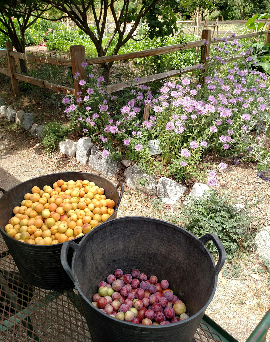 Apricots and plums in buckets next to wildflowers