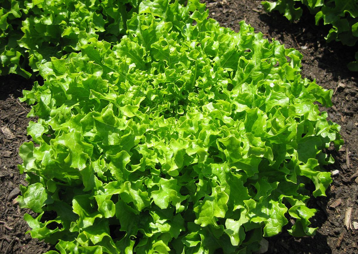 Gold Rush lettuce