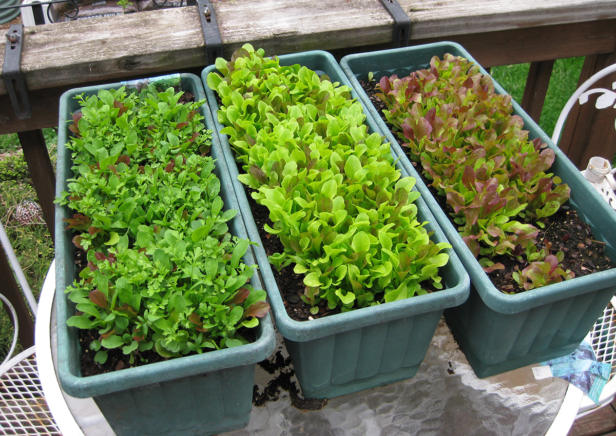 Growing lettuce in small containers