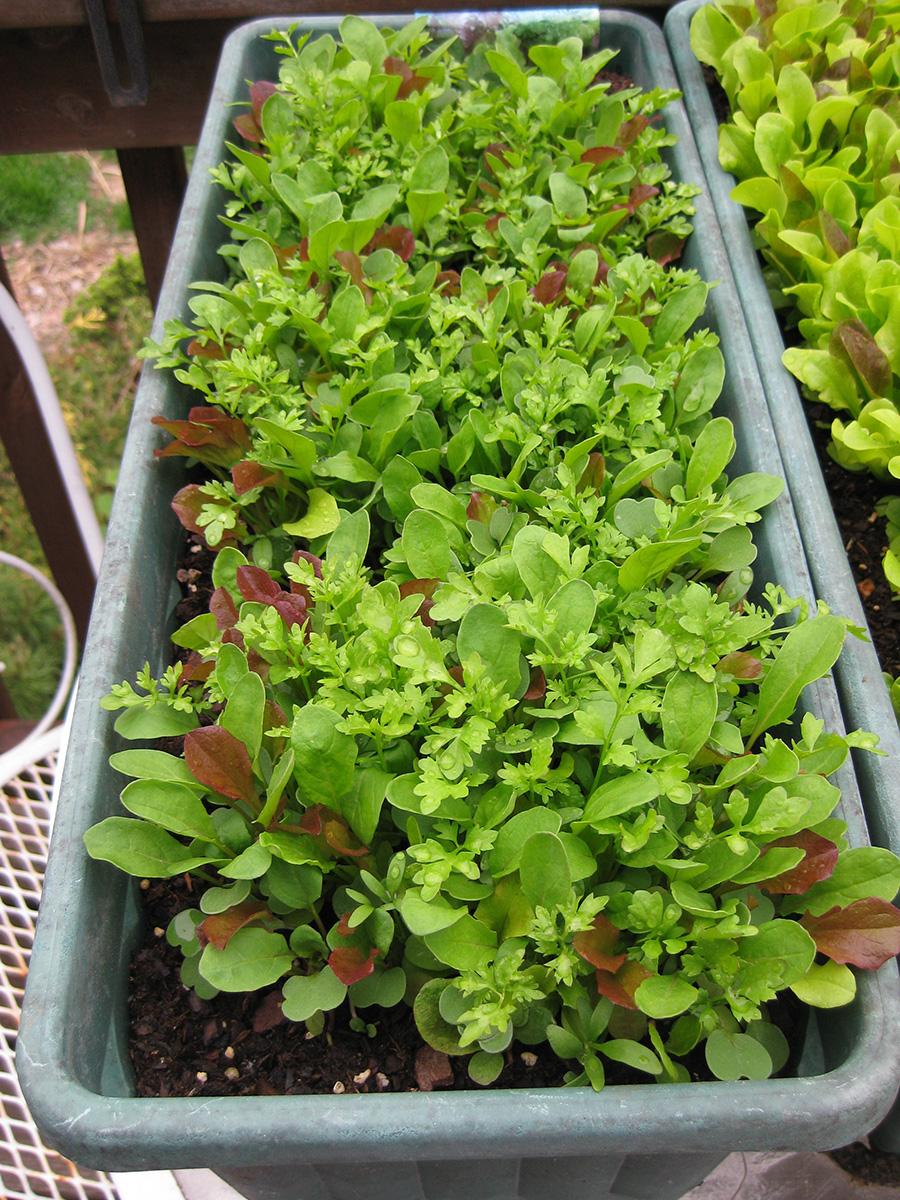 lettuce in spring