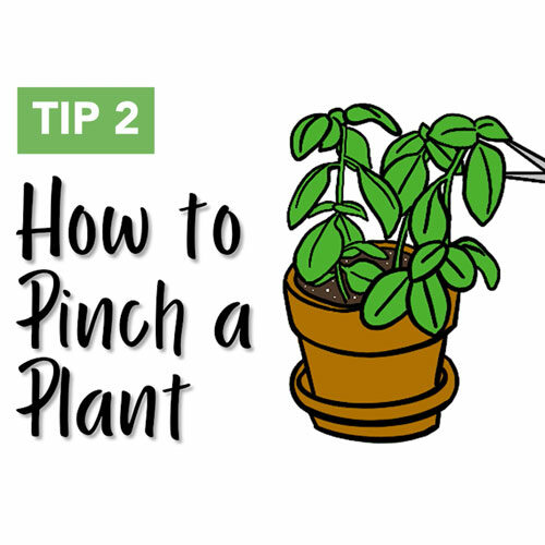 How to Pinch a Plant