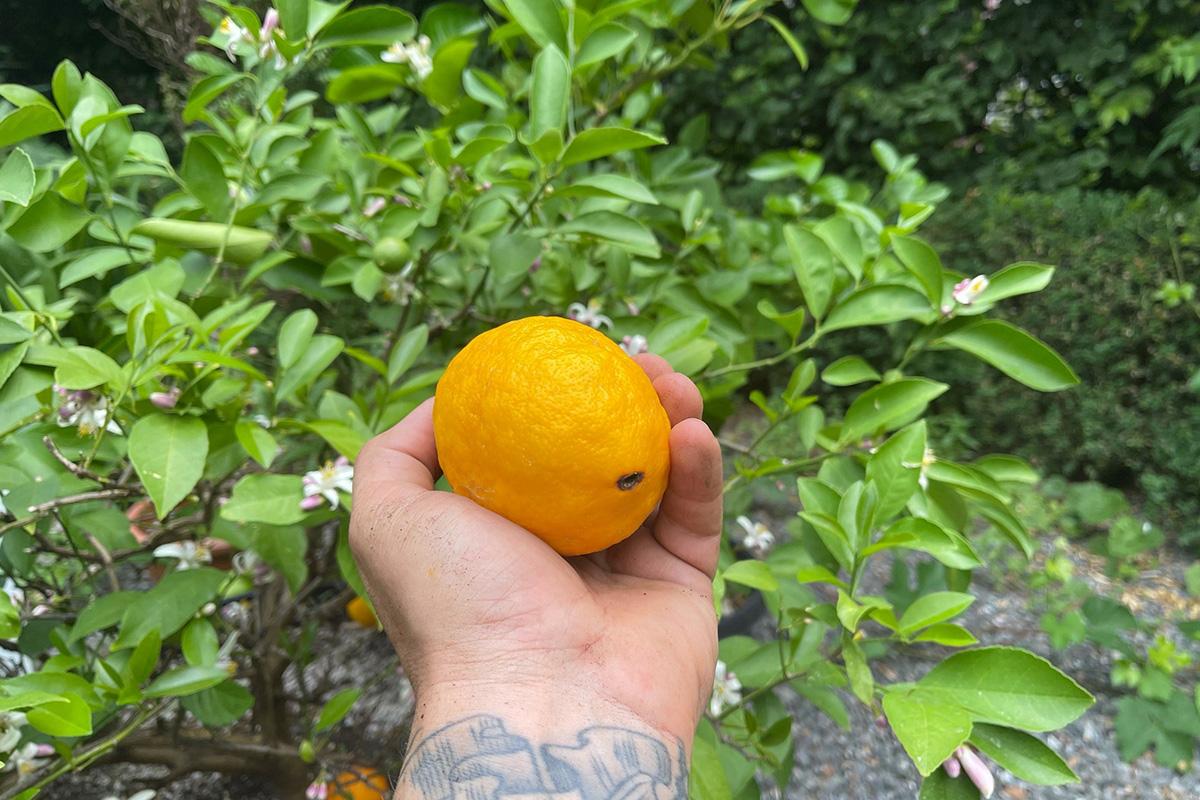 small citrus plant outside