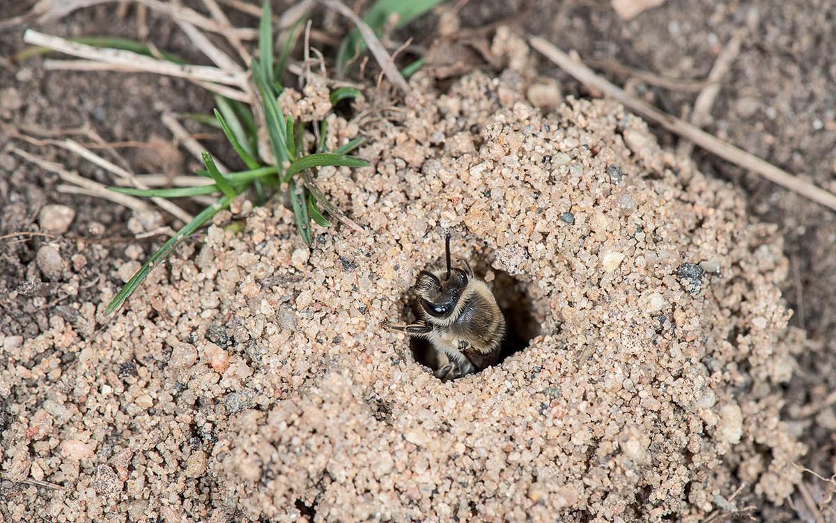 Ground nesting bee