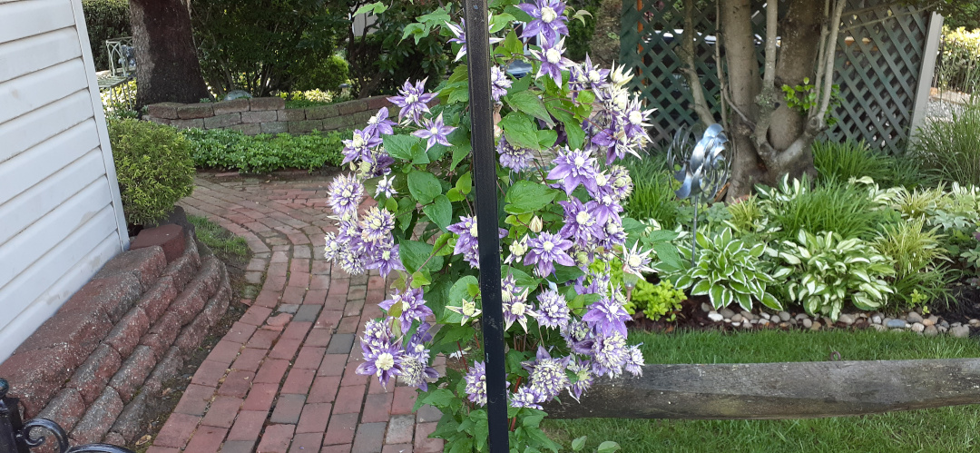 clematis with purple and white flowers