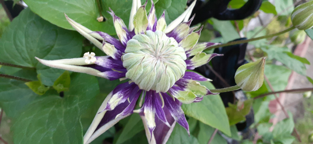 many-petaled clematis flower beginning to open