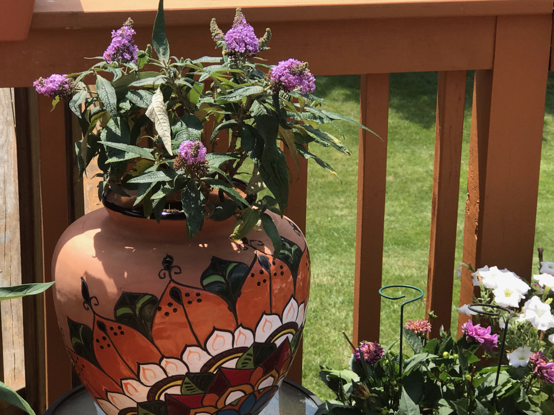 butterfly bush in a painted container