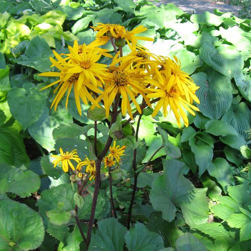 ligularia in bloom