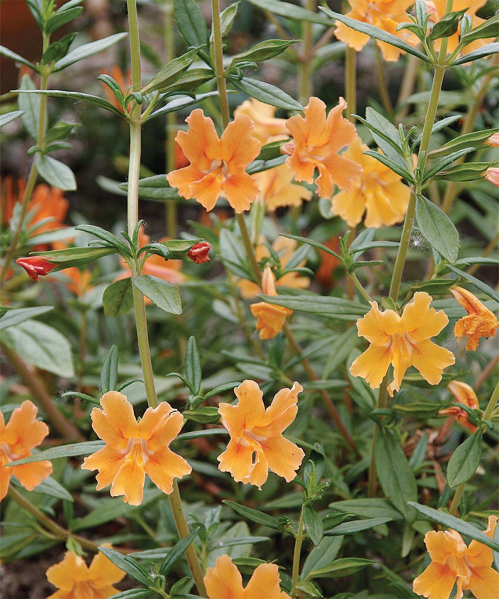 Orange Bush Monkey Flower