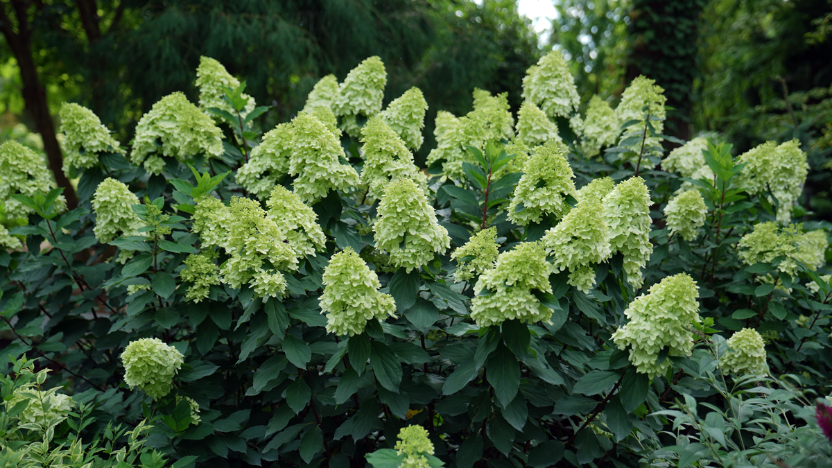 Limelight Prime® panicle hydrangea (credit: Proven Winners® Color Choice®)