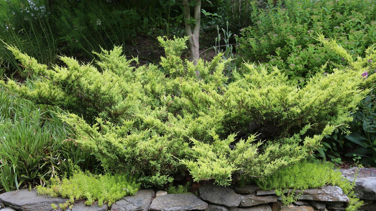'Daubs Frosted' juniper