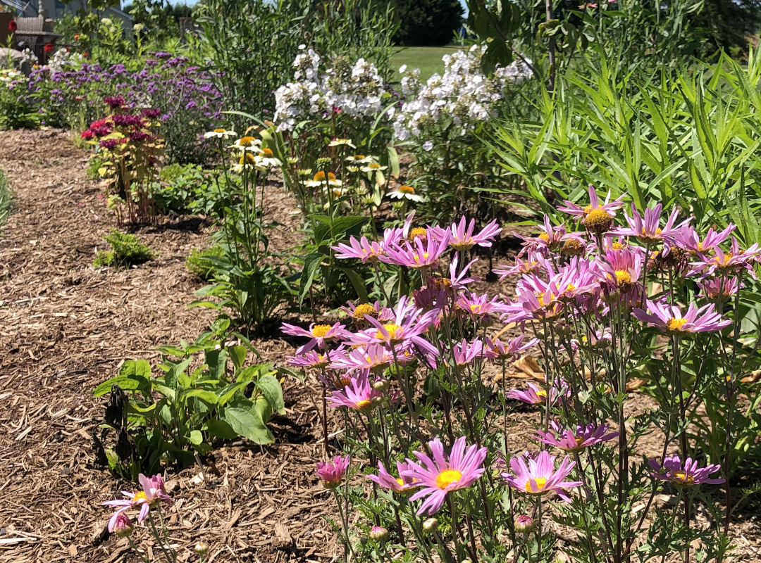 garden bed with pink daisy flowers in front