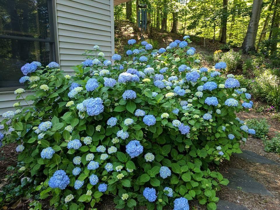 large blue bigleaf hydrangea